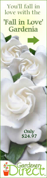 Gardenia Fall In Love