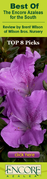 The Best Of The Encore Azaleas